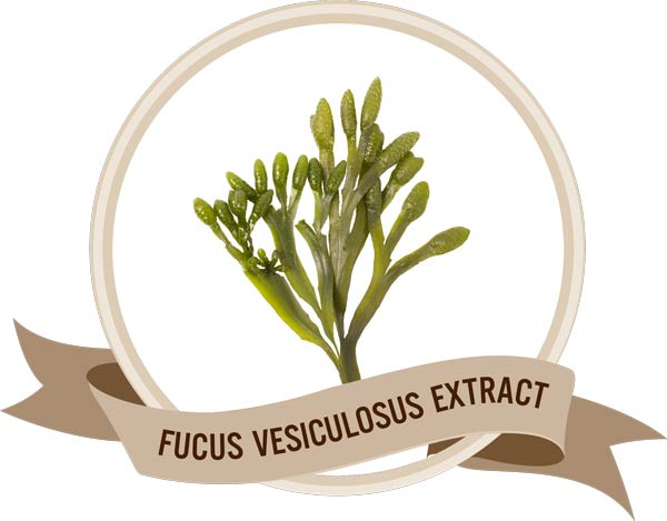 Thành phần Fucus Vesiculosus rene slim